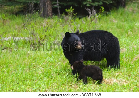 Wild Black Bear family, mother and three cubs in Jasper National Park Alberta Canada