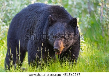 Wild Black Bear in the summertime, Banff and Jasper National Park Alberta Canada