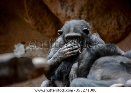 Wild Black Chimpanzee Mammal Ape Monkey Animal - stock photo