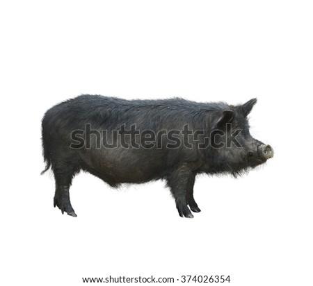 Wild Black Hog Isolated on White Background - stock photo