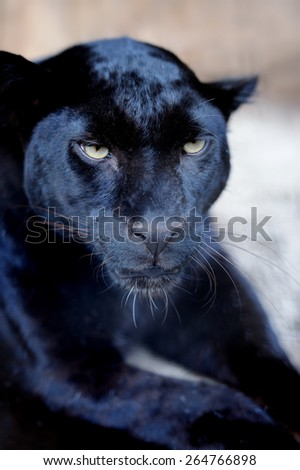 Wild black leopard in a natural environment - stock photo