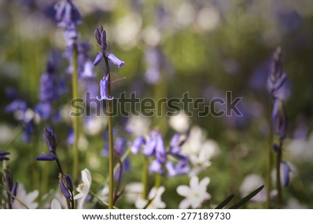 wild bluebellls blooming in april among the anemones on the fors - stock photo