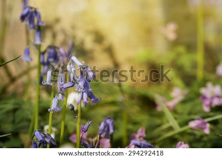 wild bluebells blooming in springtime - stock photo