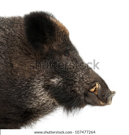 Wild boar, also wild pig, Sus scrofa, 15 years old, portrait and close up against white background - stock photo