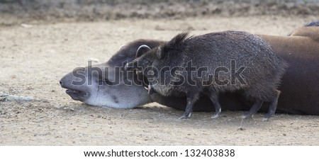 wild boar attack a sleeping tapir