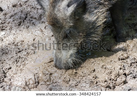 Wild Boar digging with its proboscis in the mud