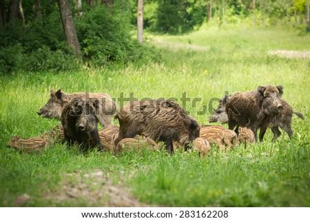 Wild boar family - stock photo