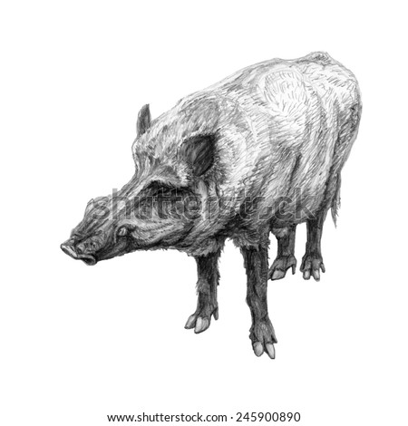 Wild boar. Hand drawn pencil illustration. Dangerous animal with canines - stock photo