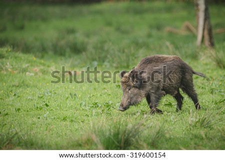 Wild boar in a German forest