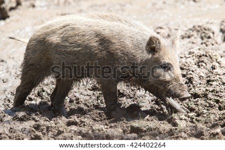 wild boar in a park on the nature - stock photo