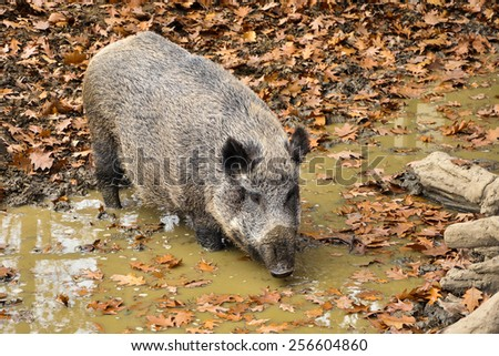 Wild Boar in a Pond - stock photo