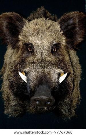 wild boar in black background - stock photo