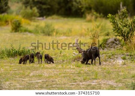 Wild boar in the Moremi Game Reserve (Okavango River Delta), National Park, Botswana - stock photo