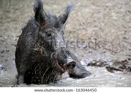 Wild boar in their natural habitat - stock photo