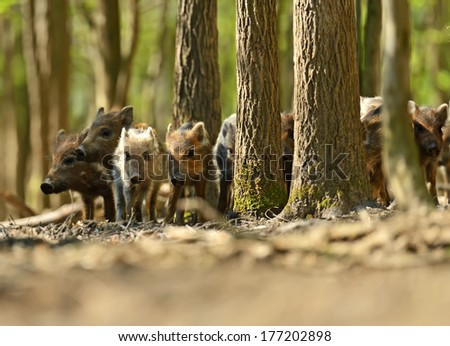 Wild boar in their natural habitat in the spring - stock photo