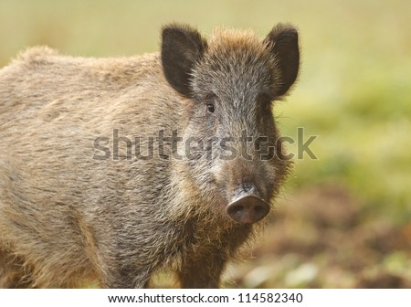 Wild boar looking at the camera, Bavaria