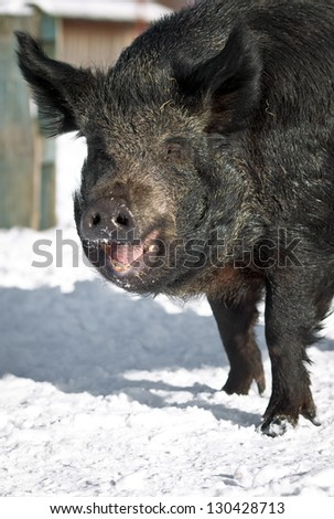 wild boar looks into the camera and smiles
