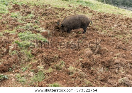 WILD BOAR ROOTING IN THE GROUND - stock photo