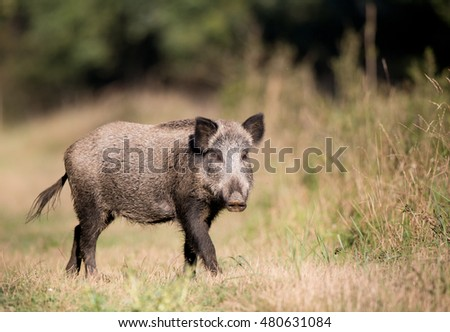 Wild boar (sus scrofa ferus) walking on meadow in front of forest and looking at camera in summer time. Wildlife animal in natural habitat
