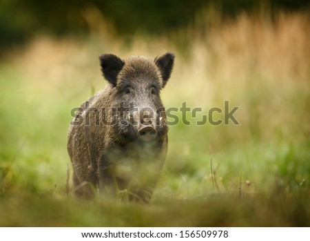 Wild boar walking through dead grass and pine trees - stock photo