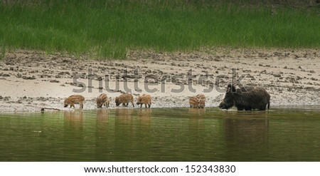 Wild boar with her babies go to bath - stock photo