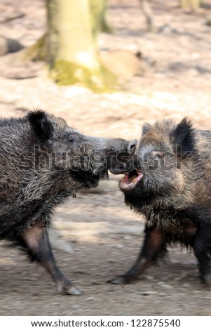 wild boars fighting in spring forest, motion blur - stock photo