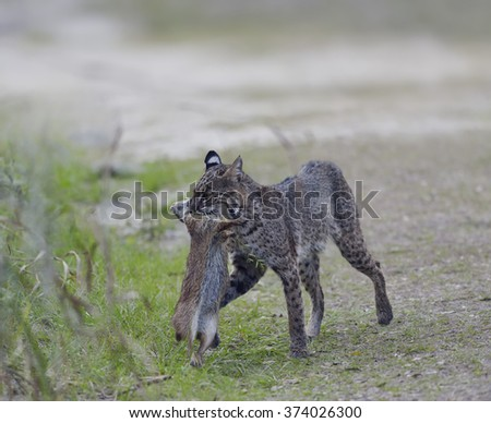 Wild Bobcat Holds a Rabbit in its Mouth - stock photo