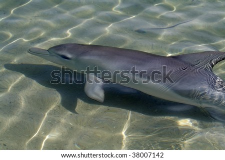 Wild bottle-nosed dolphin, Monkey Mia, Shark Bay, Western Australia