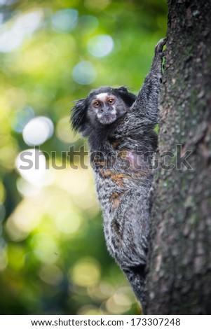 Wild brazilian monkey on tree - stock photo