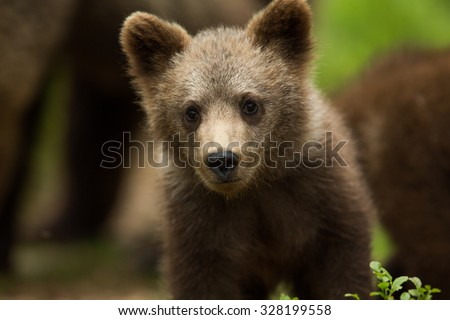 Wild Brown bear cub close-up - stock photo