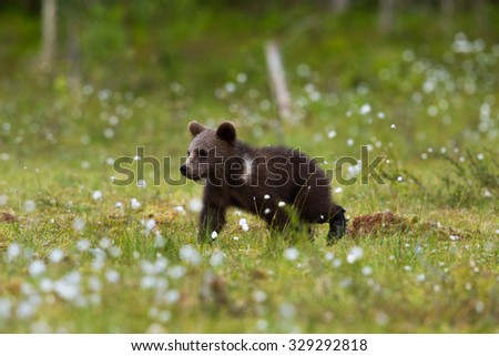 Wild Brown bear cub in spring flowers - stock photo