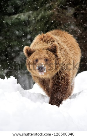 bear growl stock images royalty free images vectors. Black Bedroom Furniture Sets. Home Design Ideas