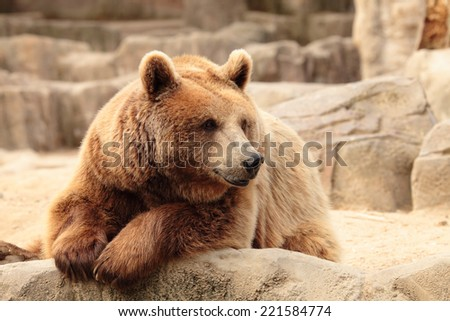 wild brown bear resting