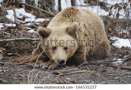 Wild brown bear resting in the woods and waiting end of winter