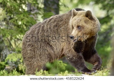 Wild Brown Bear ( Ursus Arctos ) in the summer forest. Green natural background