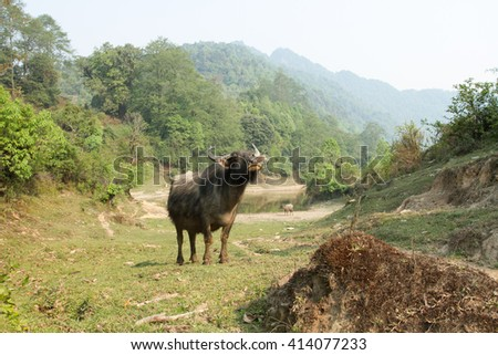 Wild buffalo in the mountainous area. Nature reserve in the foothills of the Himalayas.