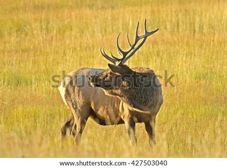 Wild Bull Elk in the Grass  - stock photo