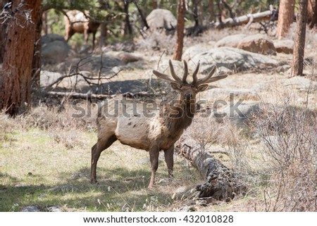 Wild bull elk looking at photographer