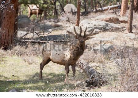 Wild bull elk looking at photographer - stock photo