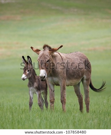 Wild Burros, mother and baby, in Custer State Park, vertical - stock photo