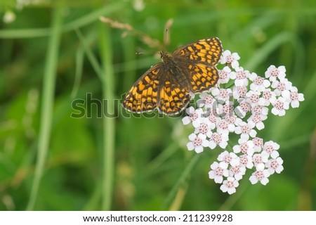 Wild butterfly on Common Yarrow (Achillea millefolium) - stock photo