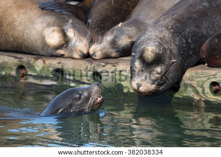 Wild California Sea Lion hauled out on floating dock in a marina on Washington's Pacific coast, basking in the sun on a warm winter's day, interacting with sea lion in the water.