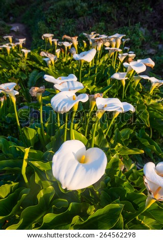 Wild Calla Lilly during sunset , Big Sur California - stock photo