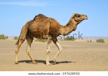Wild camel walking in the Sahara desert in Morocco