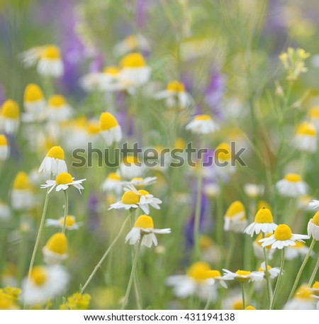 Wild camomile daisy flowers growing on green meadow - stock photo