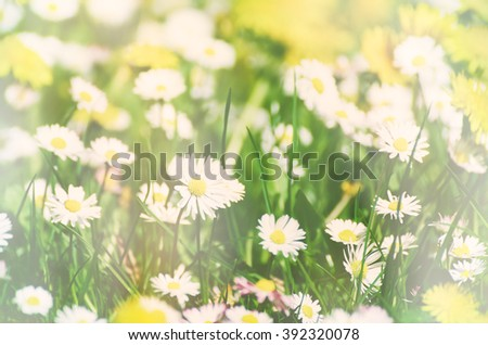 Wild camomile daisy flowers growing on green meadow, soft pastel image with sunlight and copy space, holiday easter background - stock photo