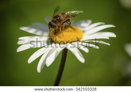 Wild camomile daisy flowers growing on green meadow with bee animal - stock photo