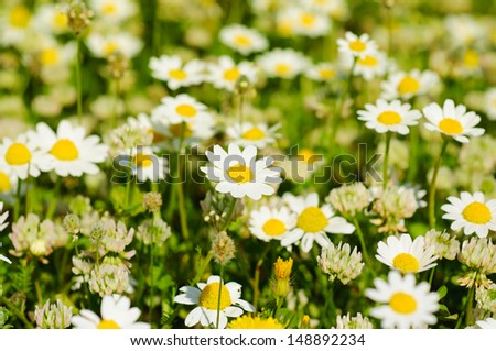 Wild camomile flowers growing on green meadow