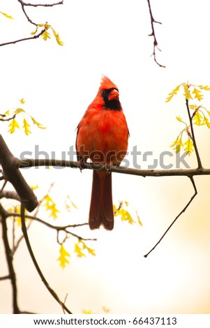Wild Cardinal Perched on Branch and Looking At Camera