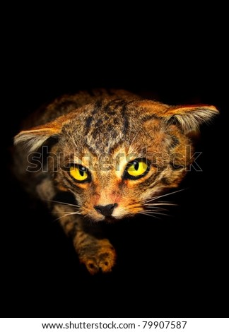 Wild cat face shot on black background. The cat has an evil expression as if about to attack something. - stock photo
